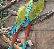 Macaws napping by GinnineB