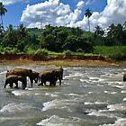 Elephant Orphanage by Adri  Padmos