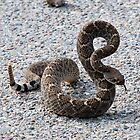 Diamond Back Rattlesnake by Barbara Manis