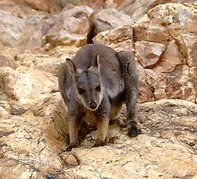 Wallaby by Rejart