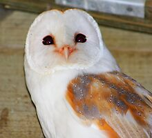 Barn Owl (In a barn) by jdmphotography