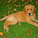 Golden Retriever by Teresa Zieba