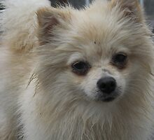 sassy (little pom) by melynda blosser