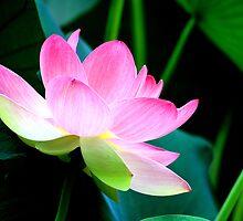 The Last Lotus by velveteagle