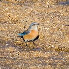 Western Bluebird  by Robert Kelch, M.D.