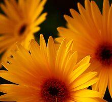 Yellow Gerbera by majipineapple