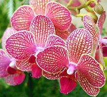 Pink and White Orchids by Amy McDaniel