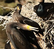 Courting Cormorants by margotk