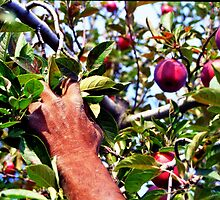 The Apple Picker by Visual   Inspirations