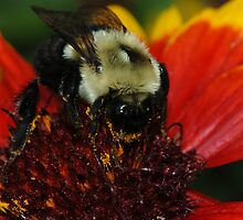 Bee Macro by Lynda   McDonald