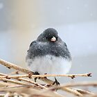 Junco Bird by Elizabeth Thomas