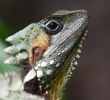 Male Boyds Forrest Dragon by Steve Bullock