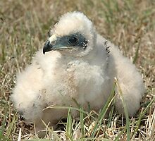 Marsh Harrier chick around 4 week old by Peter  Tonelli