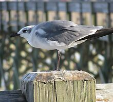 Seagull, Folly Beach by B. Brannen