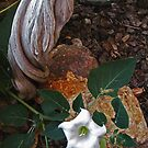 Jimsonweed, Datura, Moonflower, Devil's Weed  by jansnow