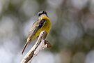 Eastern Yellow Robin by Robert Elliott