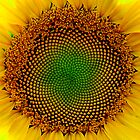 Sunflower Center by Jeff Harris