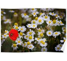 One Poppy and Daisies Poster