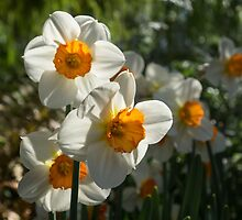 Sunny Side Up - Daffodils Blooming in a Fabulous Spring Garden by Georgia Mizuleva