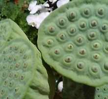 South-east Asian Lotus heads with seeds by soniamattson