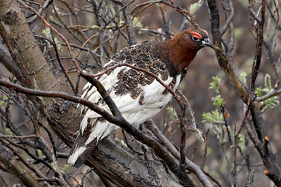 Willow Ptarmigan ~ State Bird of Alaska by Robert Elliott