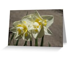 Pastel Yellow Spring - a Pair of Double Daffodils Greeting Card