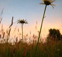 Sunsetting Daisy by Angela Housley
