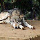 Iberian Wolf  by Stan Daniels