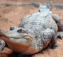 Aligator by Stan Daniels