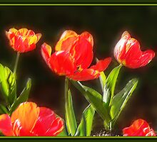Tulips by Peter Hammer