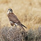 Brown Falcon ~ Patience by Robert Elliott