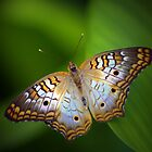 White Peacock Butterfly by Lisa G. Putman