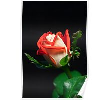 Rose bud, Red and white Poster