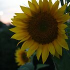 Sunset Sunflower by Judi FitzPatrick