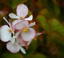 Begonia by Jan  Wall