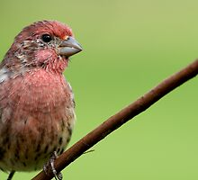 Friendly Finch by Bonnie T.  Barry
