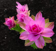 Curcuma Longa by majipineapple