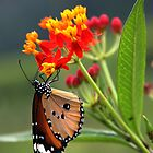 Rishikesh butterfly by David Clark