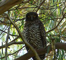 Powerful Owl Family 22 by Biggzie