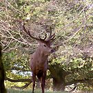 Stag Watching (Red Deer) by Trevor Kersley