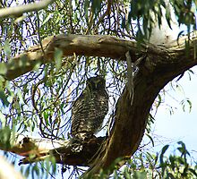 Powerful Owl Family 1 by Biggzie