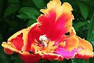 Parrot Tulip by LudaNayvelt