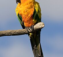 Sun Conure  by Adam Spence