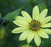 Another Non-Sunflower Flower by Loisb