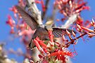 Hummingbird on Ocotillo by Jo Nijenhuis