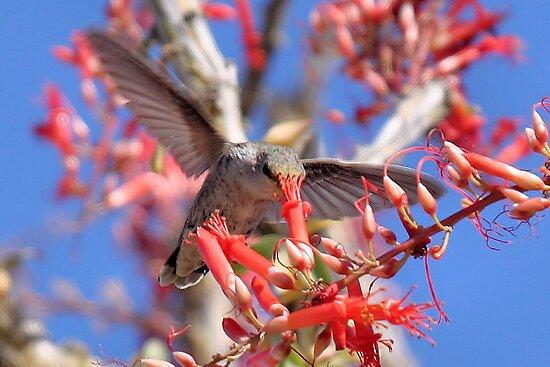 Hummingbird on Ocotillo by Jo Nijenhuis