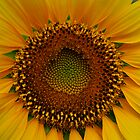 Sunflower Sunburst by Heidi Hermes