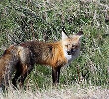 Cute Fox by Teresa Zieba