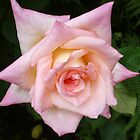 pink rose by DIANEPEAREN