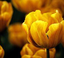 """Triumf Tulipa """"Cairo"""" by Alison Cornford-Matheson"""